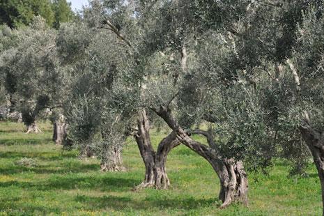 ulivi-puglia